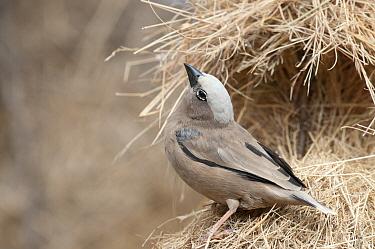 Grey-headed Social-Weaver (Pseudonigrita arnaudi) displaying on nest, Kenya  -  Tui De Roy