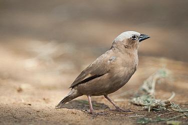 Grey-headed Social-Weaver (Pseudonigrita arnaudi), Tumaren Ranch, Kenya  -  Tui De Roy