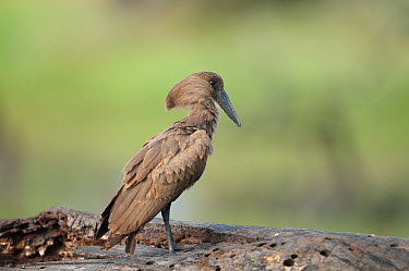 Hamerkop (Scopus umbretta) displaying, Ol Pejeta Conservancy, Kenya  -  Tui De Roy