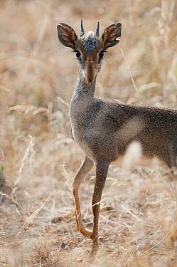 Kirk's Dik-dik (Madoqua kirkii) male, Kenya  -  Tui De Roy