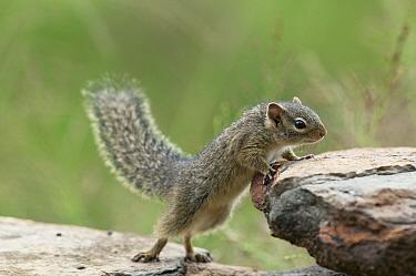 Ochre Bush Squirrel (Paraxerus ochraceus), Mpala Research Centre, Kenya  -  Tui De Roy
