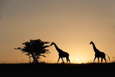 Reticulated Giraffe (Giraffa reticulata) pair, El Karama Ranch, Kenya  -  Tui De Roy