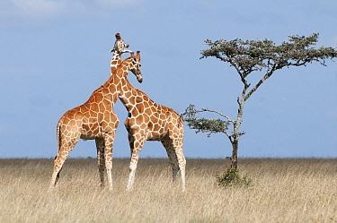 Reticulated Giraffe (Giraffa reticulata) males necking, Ol Pejeta Conservancy, Kenya  -  Tui De Roy