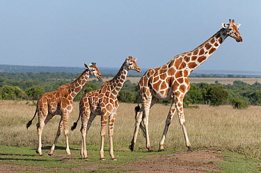 Reticulated Giraffe (Giraffa reticulata) mother and calves, Ol Pejeta Conservancy, Kenya  -  Tui De Roy