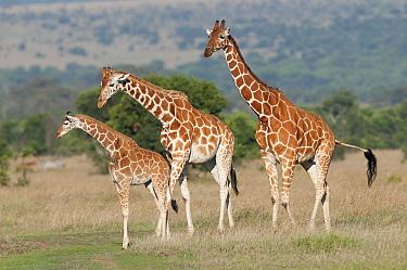 Reticulated Giraffe (Giraffa reticulata) family, Ol Pejeta Conservancy, Kenya  -  Tui De Roy