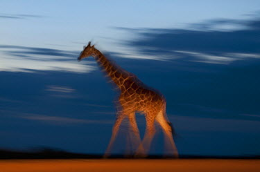 Reticulated Giraffe (Giraffa reticulata) walking at dusk, Mpala Research Centre, Kenya  -  Tui De Roy