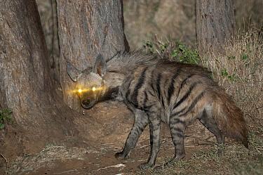 Striped Hyena (Hyaena hyaena) at night, Loisaba Wilderness, Kenya  -  Tui De Roy
