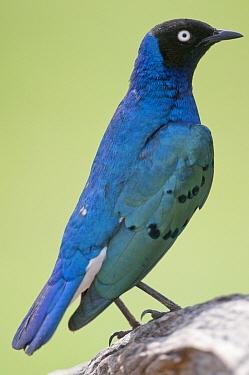 Superb Starling (Lamprotornis superbus), Laikipia Wildlife Conservancy, Kenya  -  Tui De Roy