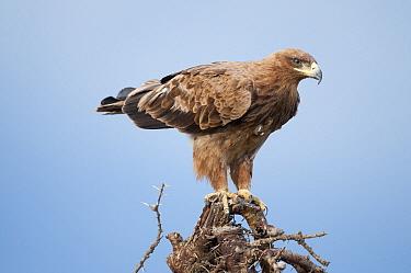 Tawny Eagle (Aquila rapax), Ol Pejeta Conservancy, Kenya  -  Tui De Roy