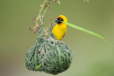 Vitelline Masked-Weaver (Ploceus vitellinus) male weaving nest, Mpala Research Centre, Kenya  -  Tui De Roy