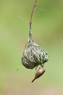Vitelline Masked-Weaver (Ploceus vitellinus) female weaving nest, Mpala Research Centre, Kenya  -  Tui De Roy