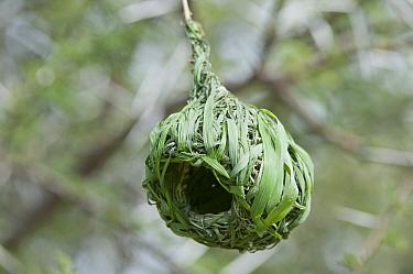 Vitelline Masked-Weaver (Ploceus vitellinus) nest, Sosian Ranch, Kenya  -  Tui De Roy