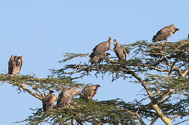 Ruppell's Griffon (Gyps rueppellii) and White-backed Vulture (Gyps africanus) group, Solio Game Reserve, Kenya  -  Tui De Roy