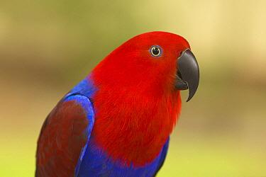 Eclectus Parrot (Eclectus roratus) female, Western Australia, Australia  -  Yva Momatiuk & John Eastcott