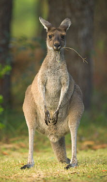 Western Grey Kangaroo (Macropus fuliginosus) female in Pinnaroo Valley Memorial Park, an environmentally responsible cemetery, Perth, Western Australia, Australia  -  Yva Momatiuk & John Eastcott