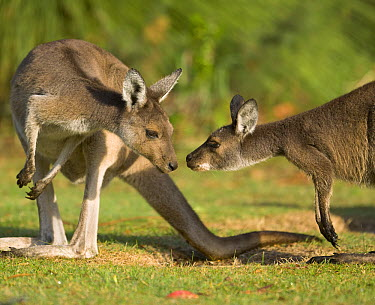 Western Grey Kangaroo (Macropus fuliginosus) female and joey interact in Pinnaroo Valley Memorial Park, an environmentally responsible cemetery, Perth, Western Australia, Australia  -  Yva Momatiuk & John Eastcott