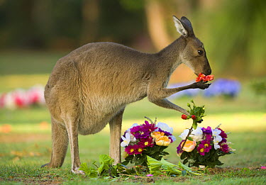 Western Grey Kangaroo (Macropus fuliginosus) eating flowers left on grave in Pinnaroo Valley Memorial Park, an environmentally responsible cemetery, Perth, Western Australia, Australia  -  Yva Momatiuk & John Eastcott