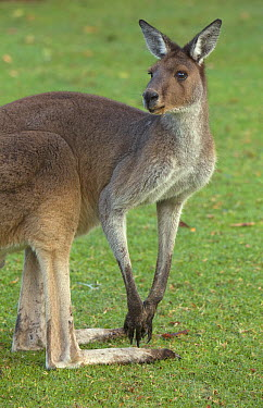 Western Grey Kangaroo (Macropus fuliginosus), Pinnaroo Valley Memorial Park, Perth, Western Australia, Australia  -  Yva Momatiuk & John Eastcott