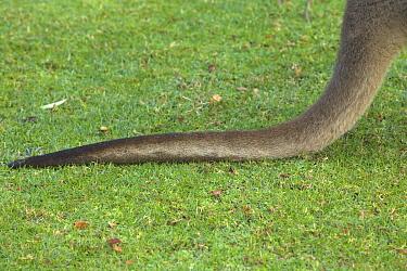 Western Grey Kangaroo (Macropus fuliginosus) tail, Pinnaroo Valley Memorial Park, Perth, Western Australia, Australia  -  Yva Momatiuk & John Eastcott