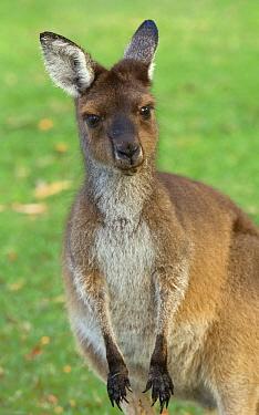 Western Grey Kangaroo (Macropus fuliginosus) juvenile, Pinnaroo Valley Memorial Park, Perth, Western Australia, Australia  -  Yva Momatiuk & John Eastcott