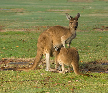 Western Grey Kangaroo (Macropus fuliginosus) female nursing joey, Pinnaroo Valley Memorial Park, Perth, Western Australia, Australia  -  Yva Momatiuk & John Eastcott