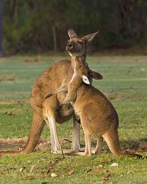Western Grey Kangaroo (Macropus fuliginosus) female with joey, Pinnaroo Valley Memorial Park, Perth, Western Australia, Australia  -  Yva Momatiuk & John Eastcott
