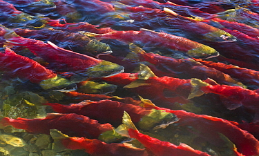 Sockeye Salmon (Oncorhynchus nerka) group swimming close to surface during spawning run, Adams River, Roderick Haig-Brown Provincial Park, British Columbia, Canada
