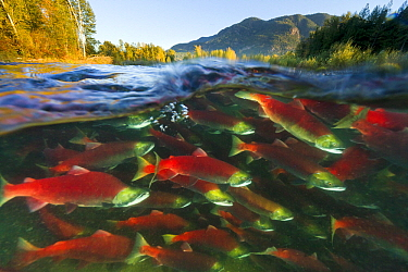 Sockeye Salmon (Oncorhynchus nerka) group swimming upstream between forested banks during spawning run, Adams River, Roderick Haig-Brown Provincial Park, British Columbia, Canada