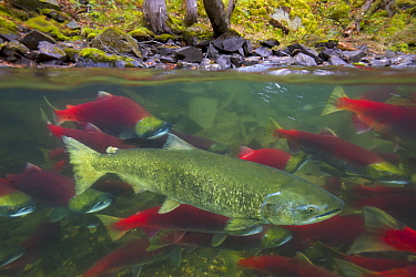 Sockeye Salmon (Oncorhynchus nerka) group and Chinook Salmon (Oncorhynchus tshawytscha) swimming upstream between forested banks of Adams River during spawning run, Roderick Haig-Brown Provincial Park...