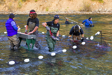 Sockeye Salmon (Oncorhynchus nerka) being counted and measured by fisheries workers, Adams River, Roderick Haig-Brown Provincial Park, British Columbia, Canada