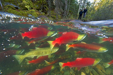 Sockeye Salmon (Oncorhynchus nerka) group and Chinook Salmon (Oncorhynchus tshawytscha) admired by tourists while battling fast current, Adams River, Roderick Haig-Brown Provincial Park, British Colum...