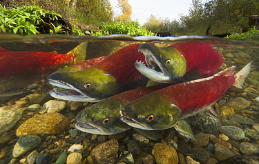 Sockeye Salmon (Oncorhynchus nerka) males competing for best position to fertilize eggs of females about to lay, Adams River, Roderick Haig-Brown Provincial Park, British Columbia, Canada