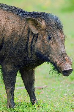 Wild Boar (Sus scrofa), Yala National Park, Sri Lanka  -  Kevin Schafer