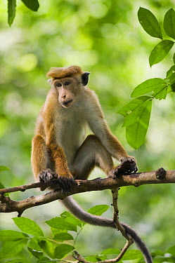 Toque Macaque (Macaca sinica), Bodhinagala Forest Reserve, Sri Lanka  -  Kevin Schafer