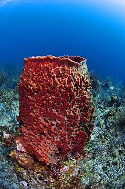 Giant Barrel Sponge (Xestospongia testudinaria) growing on reef, Belize Barrier Reef, Belize  -  Pete Oxford