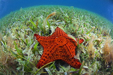 Cushioned Star (Oreaster reticulatus) amid grasses, Belize Barrier Reef, Belize  -  Pete Oxford