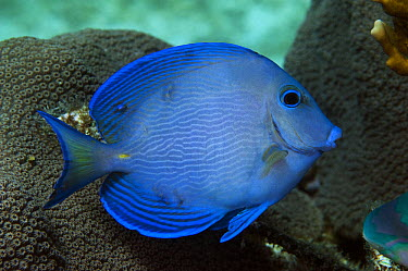 Blue Tang Surgeonfish (Acanthurus coeruleuss), Belize Barrier Reef, Belize  -  Pete Oxford