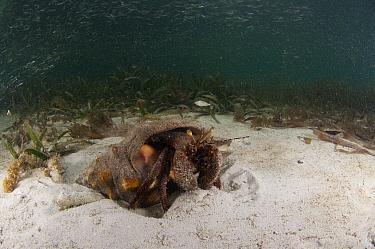 Giant Hermit (Petrochirus diogenes) on sandy ocean floor, Belize Barrier Reef, Belize  -  Pete Oxford