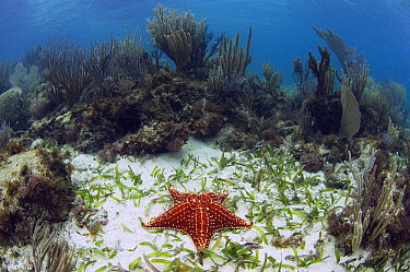 Cushioned Star (Oreaster reticulatus) on sandy ocean floor, Belize Barrier Reef, Belize  -  Pete Oxford