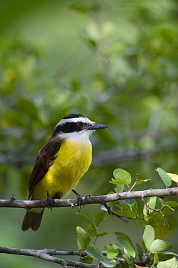 Great Kiskadee (Pitangus sulphuratus), Belize  -  Pete Oxford