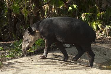 Baird's Tapir (Tapirus bairdii), Belize Zoo, Belize  -  Pete Oxford