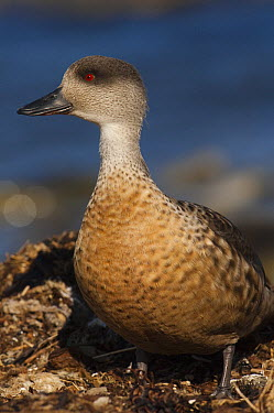 Crested Duck (Lophonetta specularioides), Stanley, East Falkland Island, Falkland Islands  -  Pete Oxford