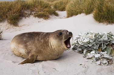 Southern Elephant Seal (Mirounga leonina) female calling next to Dusty Miller (Senecio cinerarias) in the dunes, Sea Lion Island, Falkland Islands  -  Pete Oxford