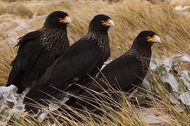 Striated Caracara (Phalcoboenus australis) trio, Sea Lion Island, Falkland Islands  -  Pete Oxford