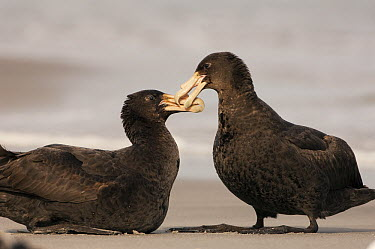Antarctic Giant Petrel (Macronectes giganteus) pair billing, Sea Lion Island, Falkland Islands  -  Pete Oxford