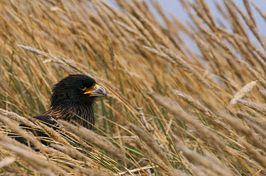 Striated Caracara (Phalcoboenus australis) in grasses, Sea Lion Island, Falkland Islands  -  Pete Oxford
