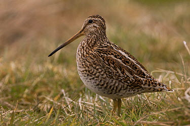 Magellanic Snipe (Gallinago magellanica), Sea Lion Island, Falkland Islands  -  Pete Oxford