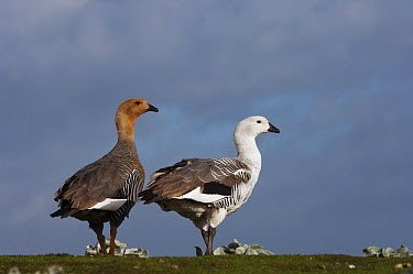 Upland Goose (Chloephaga picta) female and male, Sea Lion Island, Falkland Islands  -  Pete Oxford