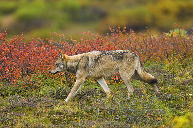Gray Wolf (Canis lupus) sub-adult in tundra, Denali National Park, Alaska  -  Yva Momatiuk & John Eastcott