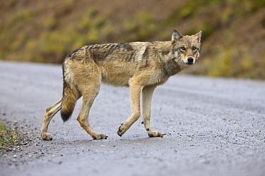 Gray Wolf (Canis lupus) sub-adult crossing gravel road in rain, Denali National Park, Alaska  -  Yva Momatiuk & John Eastcott